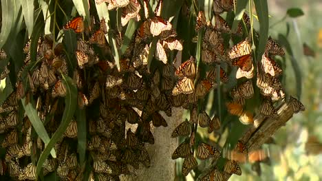 Monarch-Butterflies-In-Eucalyptus-Tree-02