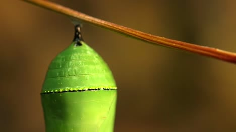 Close-Up-Of-Chrysalis
