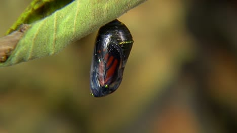 Butterfly-In-Chrysalis
