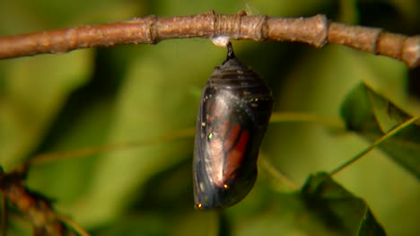 Chrysalis-Changing-Colour