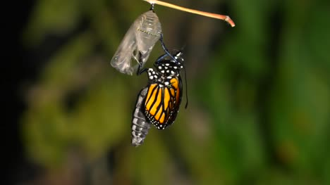 Butterfly-Hatching