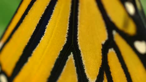 Monarch-Butterfly-Wings