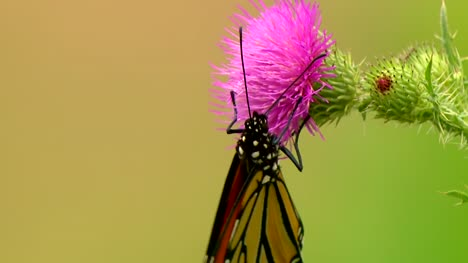 Butterfly-Collecting-Nectar
