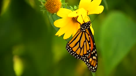 Monarch-Butterfly-On-Flower