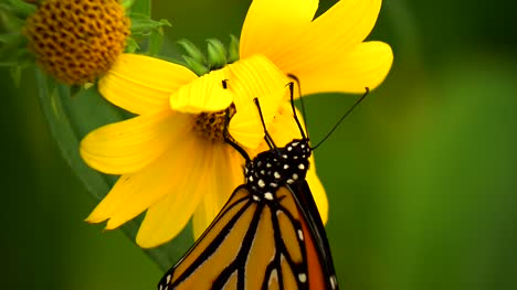 Monarch-Butterfly-On-Flower-02