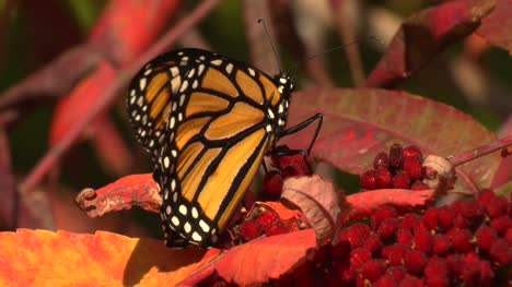 Monarch-Butterfly-On-Leaf