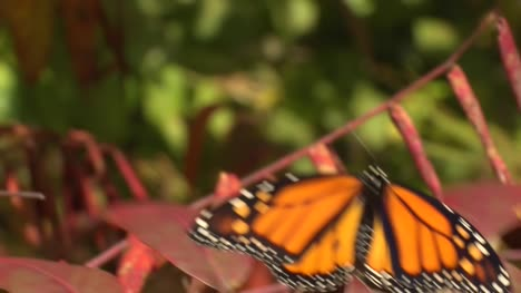 Monarch-Butterfly-in-the-Breeze