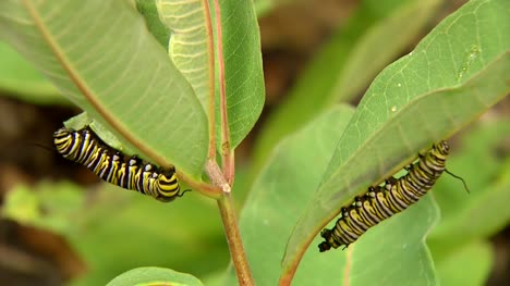 Two-Caterpillars-On-Leaves