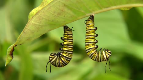 Caterpillars-Hanging