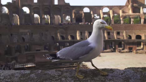 Seagull-Walking-On-Colosseum-Wall