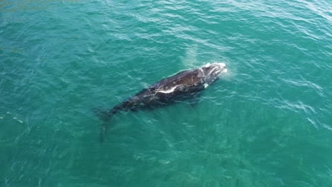Southern-Right-Whale-