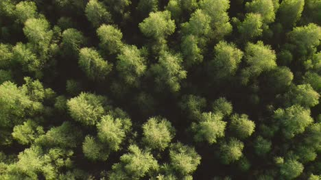 Pine-Tree-Forest-Aerial