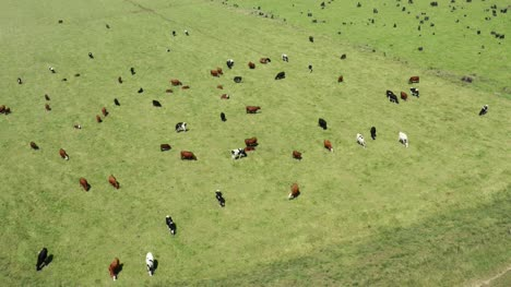Aerial-View-Of-Cows-Grazing