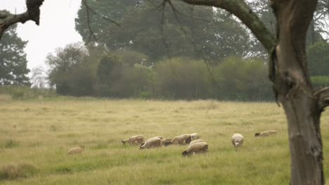 Medium-Shot-Of-Sheep-Grazing
