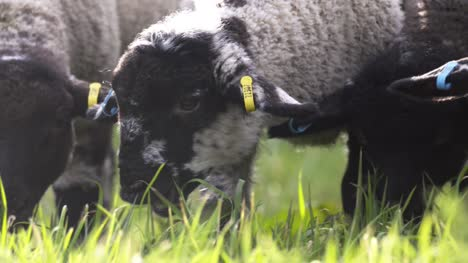 Lambs-Grazing-Close-Up-01