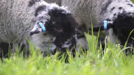 Lambs-Grazing-Close-Up-02