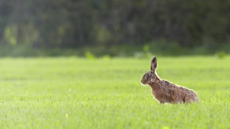 Hare-in-English-Countryside