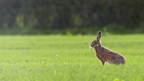 Hare-Grazing-in-Grass-Field