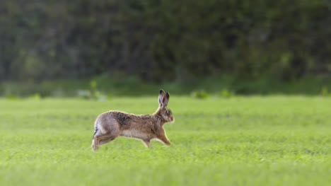 Hare-Running-in-Open-Field