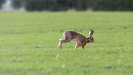 Hare-Roaming-on-Grassland-01