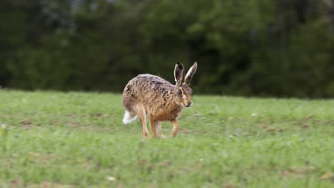 Hare-Roaming-on-Grassland-02