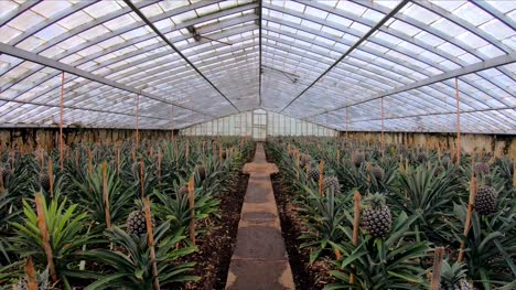 Walking-Through-Pineapple-Plantation