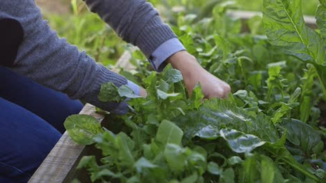 Young-Woman-Harvests-Fresh-Herbs-from-Garden