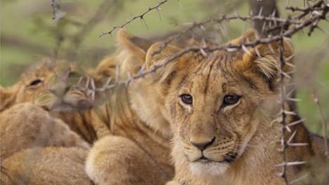 Lion-Cubs-Resting-in-Shrubland-01