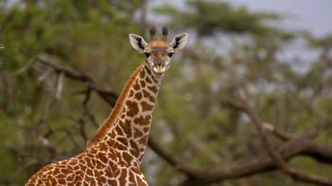 Giraffe-Looking-at-Camera