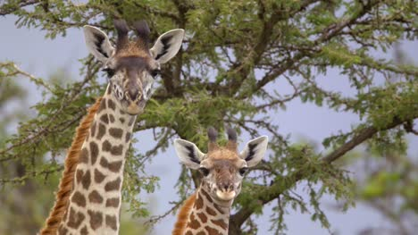 A-Pair-of-Giraffes-Looking-at-Camera