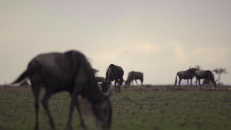 Wildebeest-on-African-Plains