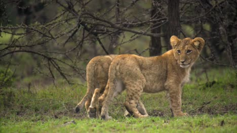 Lion-Cubs-in-Kenyan-Shrubland