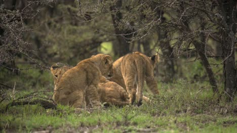 Lion-Cubs-Gathering-in-Shrubland