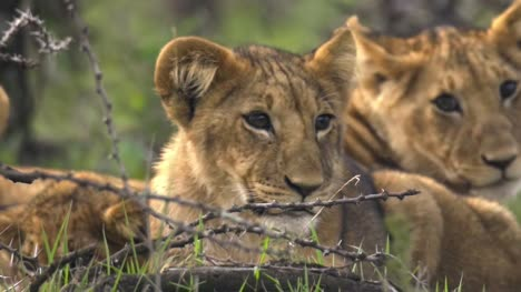 Lions-Cubs-Close-Up