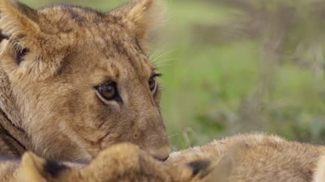 Close-Up-of-Lion-Cub-Resting
