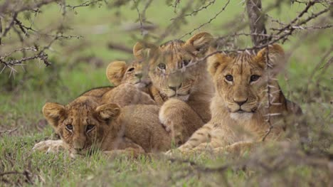 Lion-Cubs-Resting-in-Shrubland-02