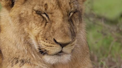Lion-Cub-Face-Close-Up
