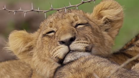 Close-Up-of-Sleepy-Lion-Cub