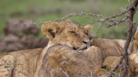 Lion-Cub-Sleeping-in-African-Scrub