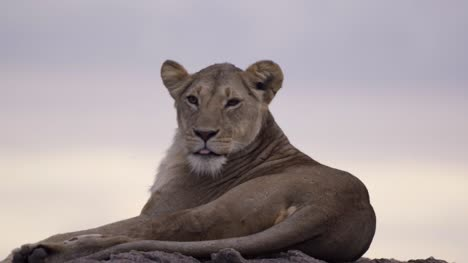 Lioness-Resting-on-Rock-04