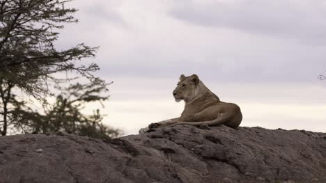 Lioness-Resting-on-Rock-05
