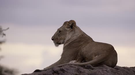 Lioness-Resting-on-Rock-06
