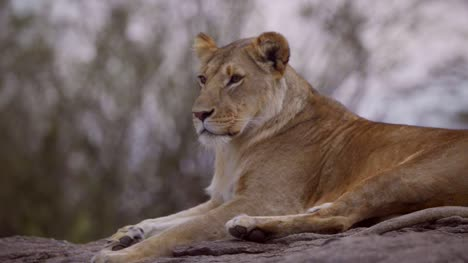 Lioness-Resting-on-Rock-07