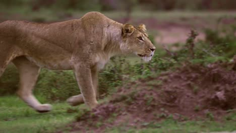 Lioness-Prowling-03