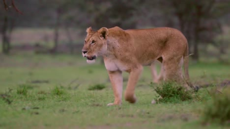 Lioness-Prowling-06