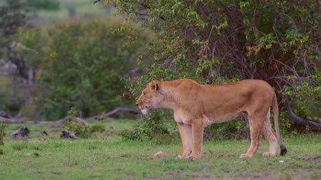 Lioness-Prowling-07