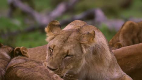 Lioness-Grooming-01