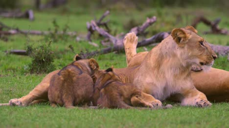 Lion-Cubs-Feeding-From-Mother-01