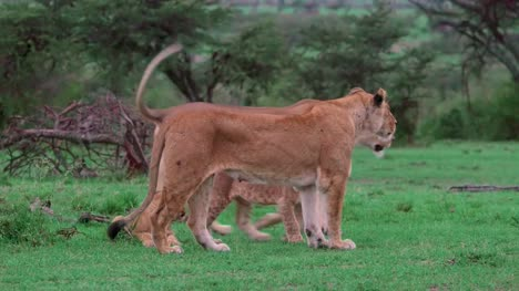 Lioness-Walking-With-Cubs