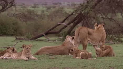 Lion-Pack-Grouped-Together-